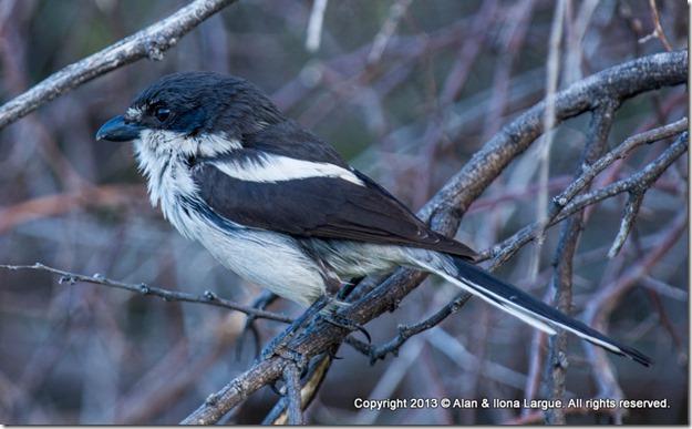 Beaufort West - KNP - Bird 9 Fiscal Shrike